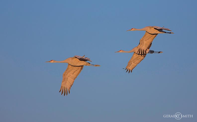 sandhill_cranes_bosque_del_apache_1773-9878278