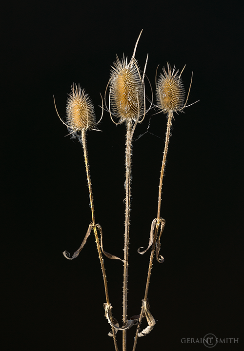Thistle Notes, Baca Park, Taos, New Mexico