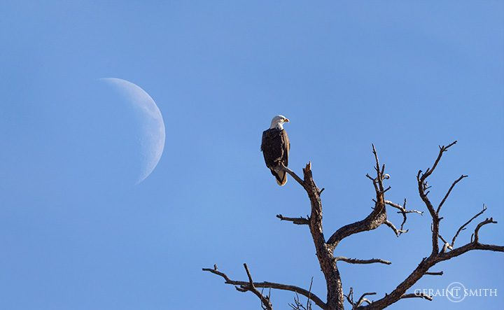 bald_eagle_pine_tree_orilla_verde_7940_7942-2067884