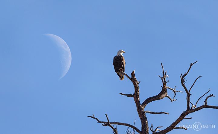 Bald eagle and moon