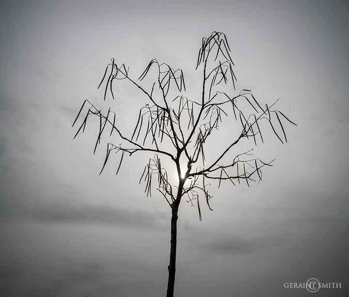 Catalpa Tree, Santuario de Chimayo, New Mexico