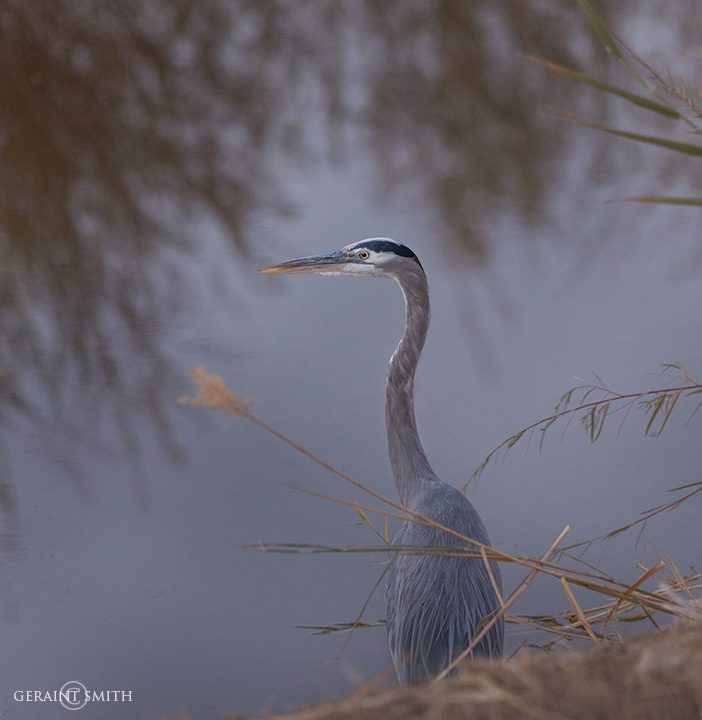 great_blue_heron_bosque_del_apache_4740_4744-1903020