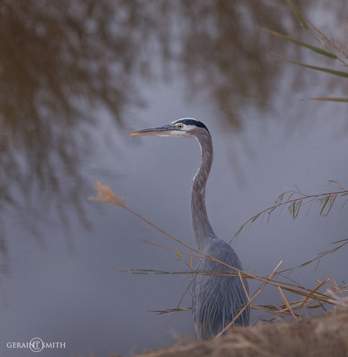 Great Blue Heron, Bosque del Apache fishing