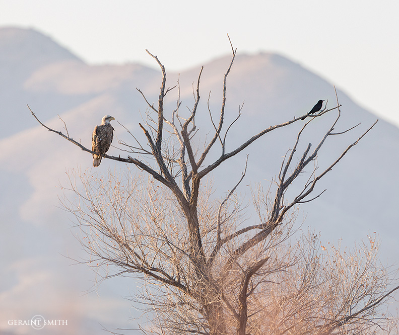 Juvenile Bald Eagle And Grackle