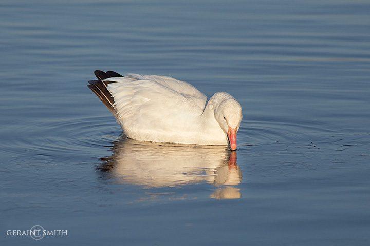 Snow Goose morning on pond ice