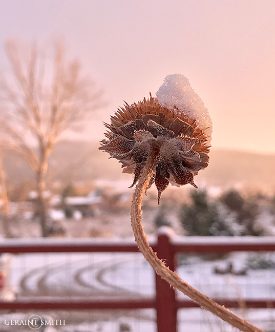 Snow, Sunflower Sunset