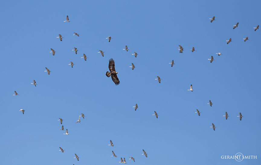 Juvenile Golden Eagle and Sandhill Cranes