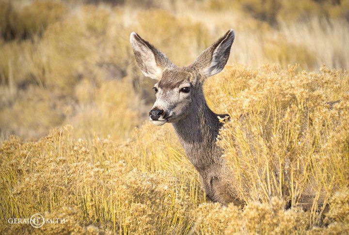 Mule Deer, Great Sand Dunes NP.