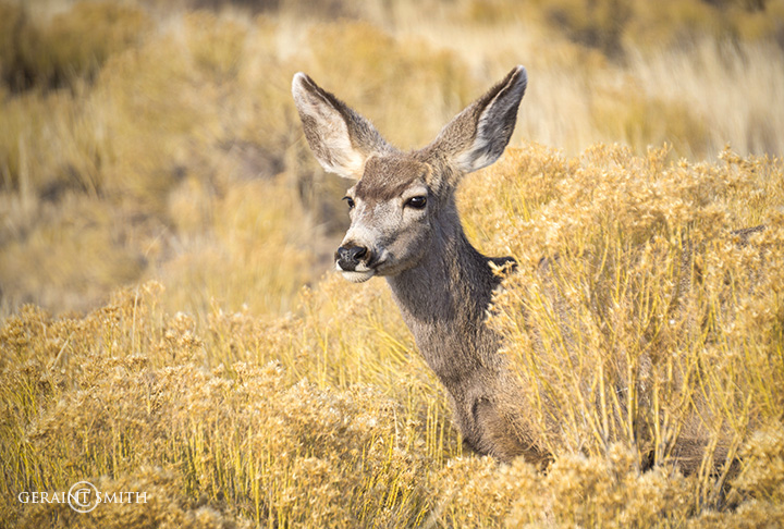 Mule Deer, Great Sand Dunes NP.