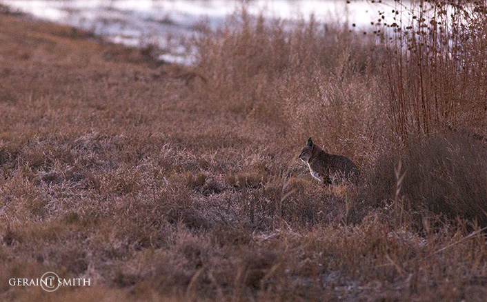 Morning Bobcat, Bosque Del Apache