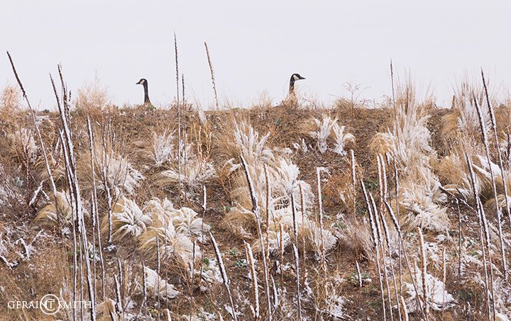 Canada Geese, Eagle Nest, New Mexico