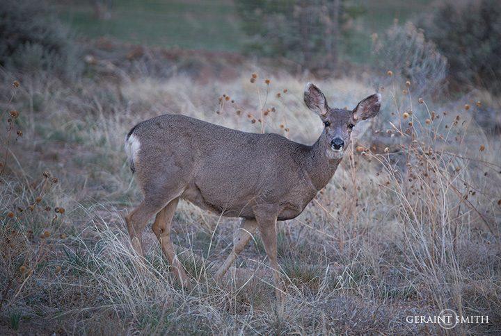 Mule Deer In The Meadow
