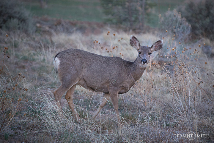 Mule Deer In The Meadow