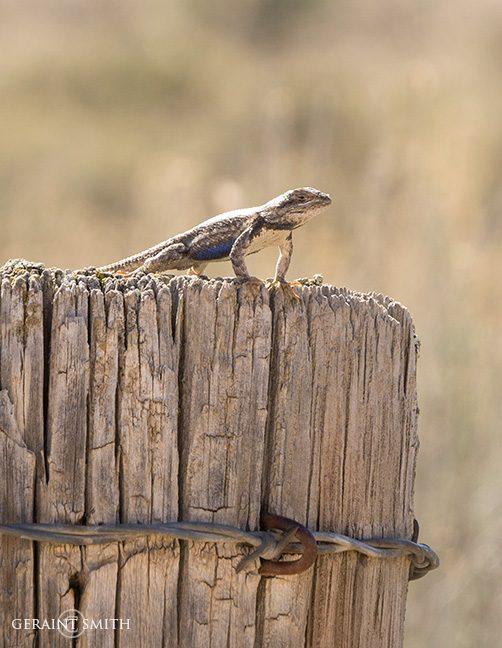 Pole sitting lizard