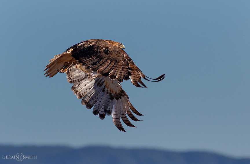 Red-Tailed Hawk, Arroyo Hondo