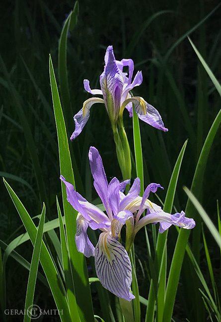 Wild Iris In The Valle Vidal