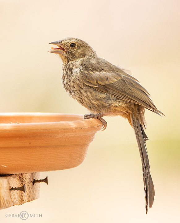 Juvenile Canyon Towhee On The Feeder
