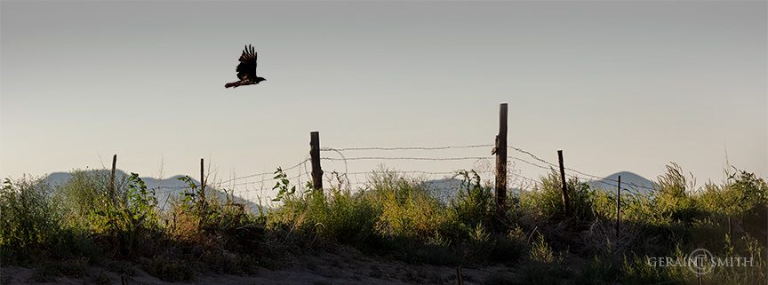 hawk_fenceline_colorado_4114_4116-2262472