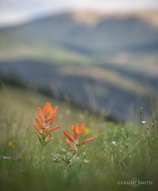 Indian Paintbrush In The High Country
