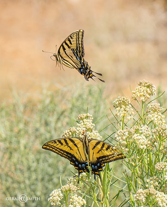 Swallowtail butterfly on the Horsetail milkweed in the Wild Rivers Area