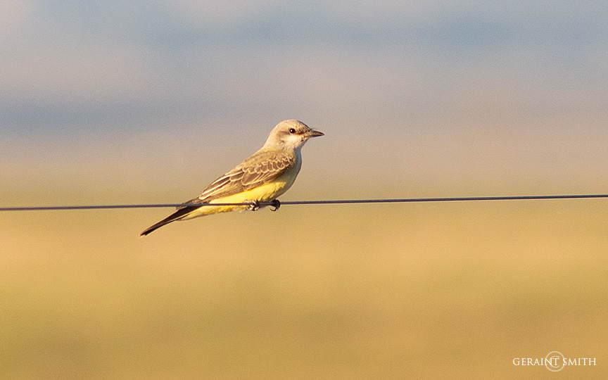Western Kingbird on the wire