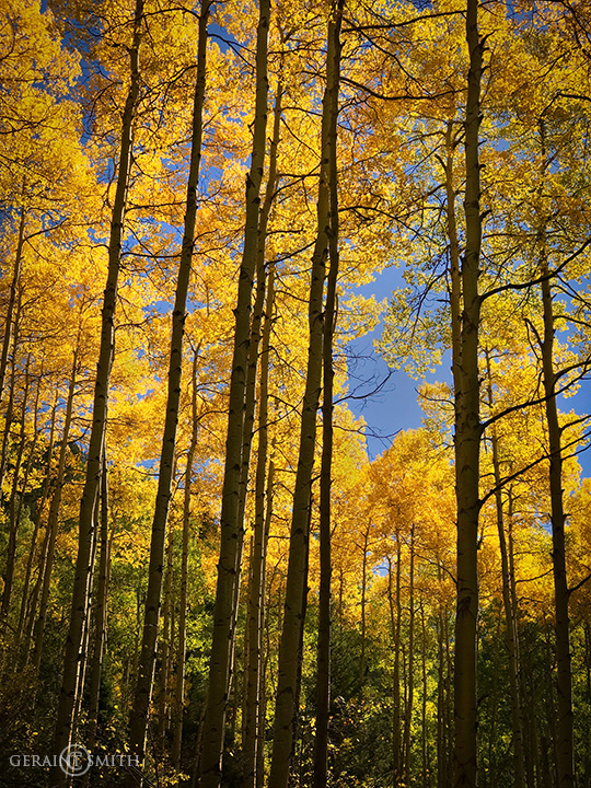 Tall Aspens, Italianos Trail, Taos Ski Valley