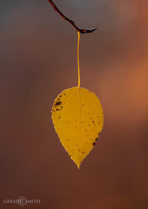 One Last Aspen Leaf