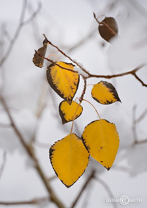 Last Leaves On The Aspen Tree
