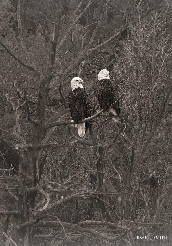 bald_eagles_bw_3721-2215339