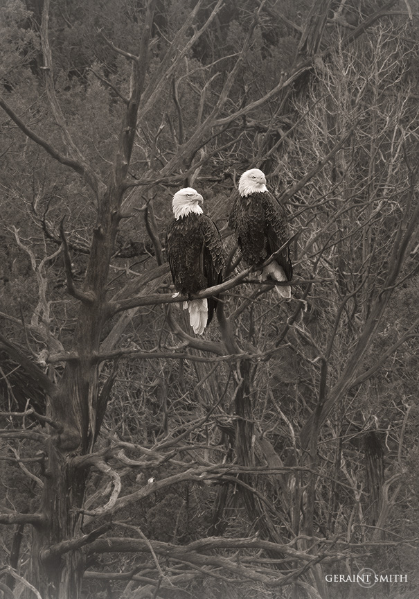 Bald Eagles, Pilar New Mexico
