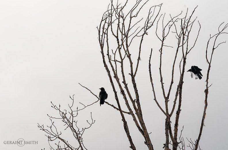 Cottonwood Crows, San Cristobal