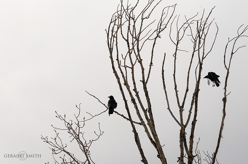 Cottonwood Crows, San Cristobal