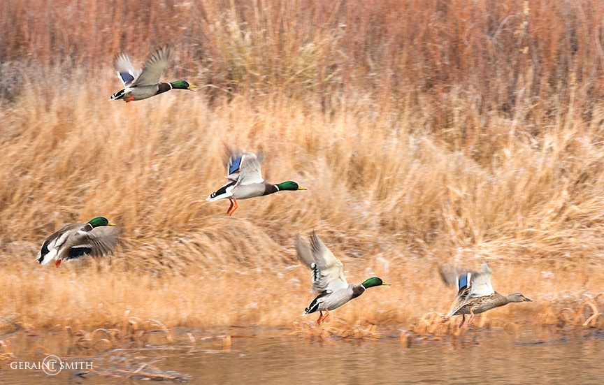 Mallards Lift Off In The Orilla Verde