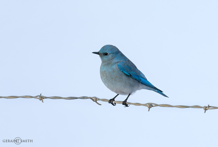 Mountain Bluebird Of Happiness