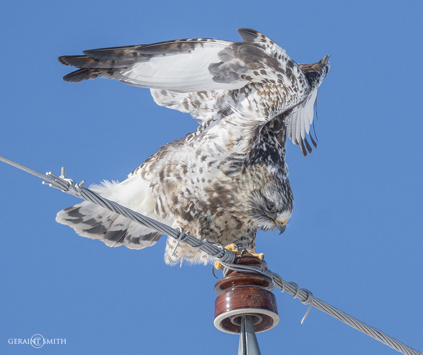 Rough-Legged Hawk, Monte Vista Wild Life Refuge