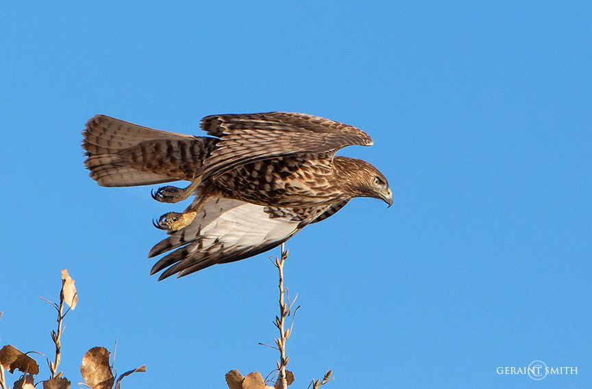 Western Red-Tailed Hawk, Bosque Del Apache