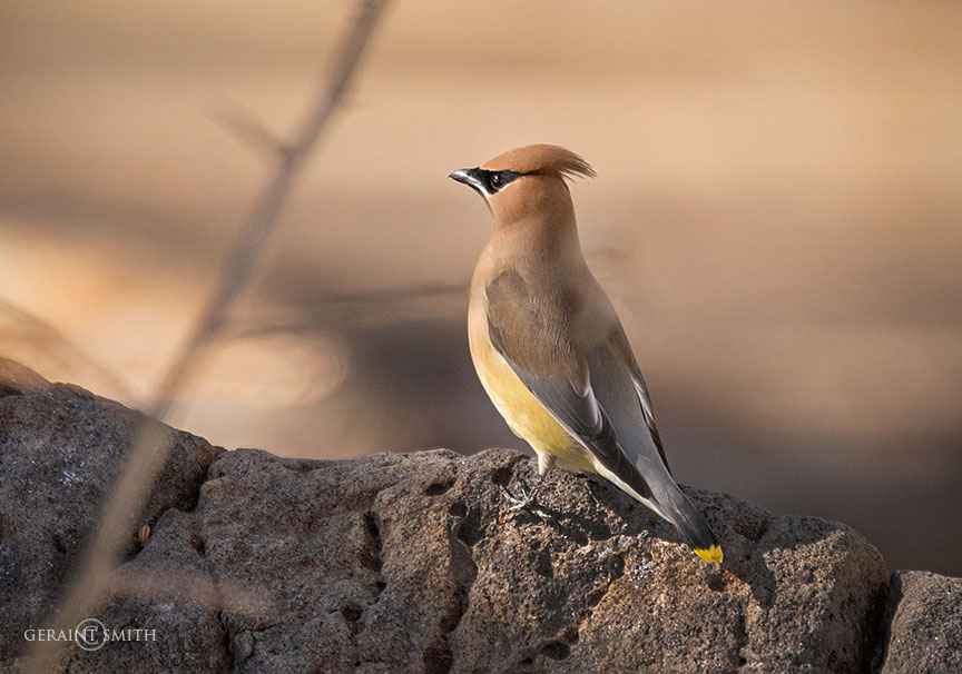 Cedar Waxwing, downtown Taos, New Mexico.