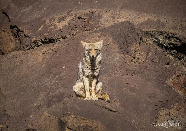 coyote_watches_rio_pueblo_1195-3741034