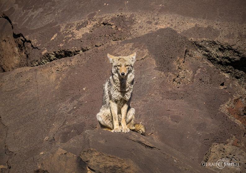 Coyote Watches, Rio Pueblo, Orilla Verde, NM