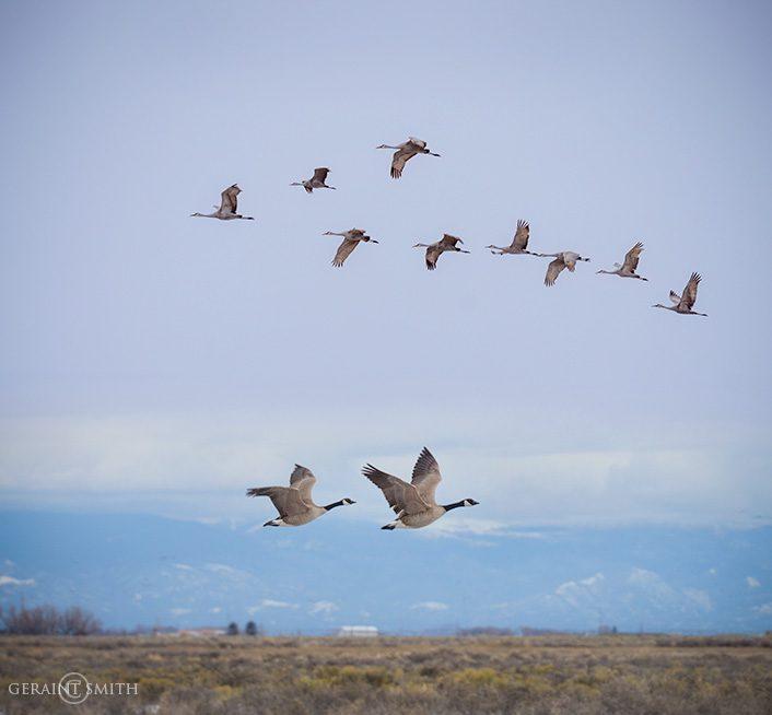 Monte Vista NWR, Sandhill Cranes, Geese