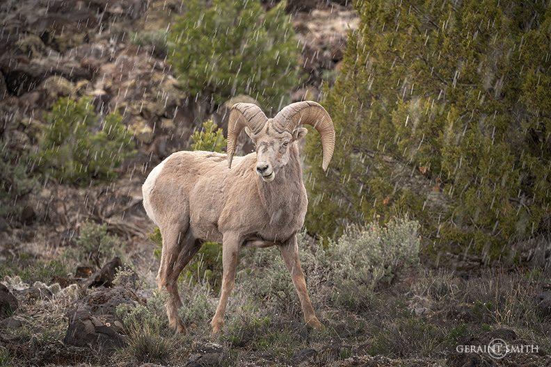 bighorn_sheep_ram_a7r_3187-8172304