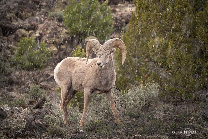 Bighorn Sheep Ram, Rio Grande Gorge Rim
