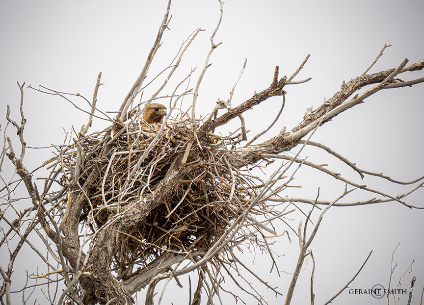 Nesting Red-Tailed Hawk