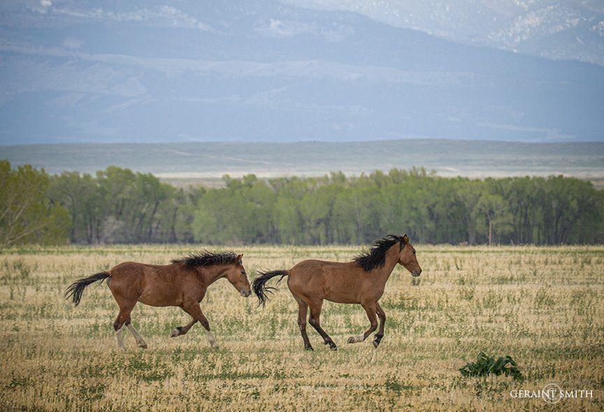 Wild Horses, Spring Time, Colorado