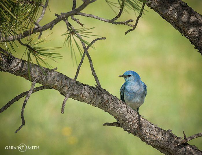 Mountain Bluebird, Sangre De Cristo pines.