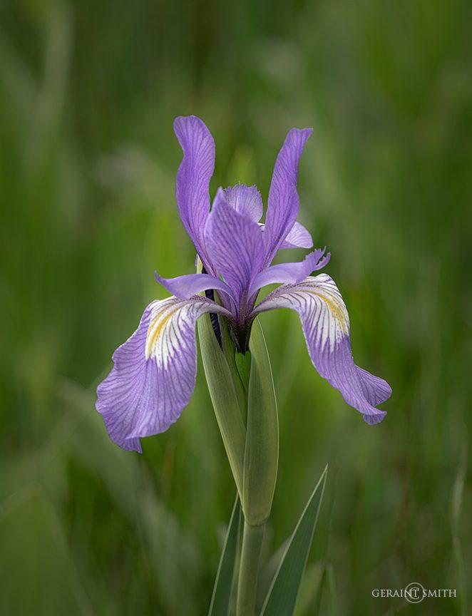 Wild Iris, Northern New Mexico