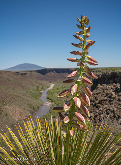 Blooming Yucca on the Rio Grande Gorge Rim
