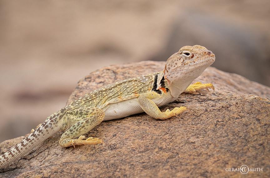 Gecko lizard, Plaza Blanca, Abiquiu