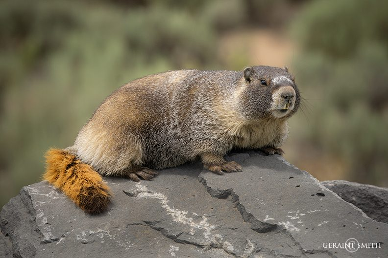 Marmot on the road in southern Colorado.