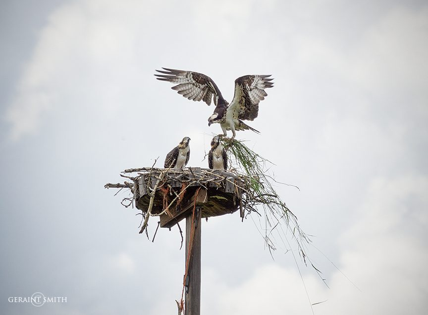 Osprey family in the Chama Valley New Mexico